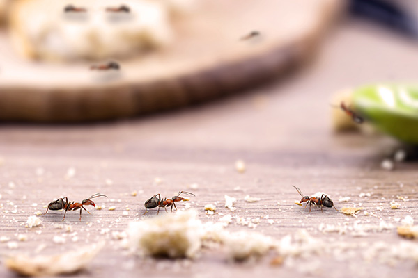 common ant on the kitchen table, close to food, need for pest control