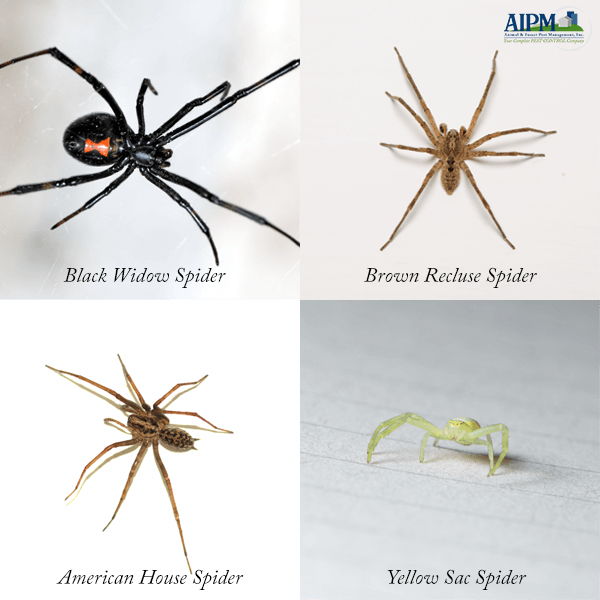 Black Widow Spider, Brown Recluse Spider, American House Spider and Yellow Sac Spider