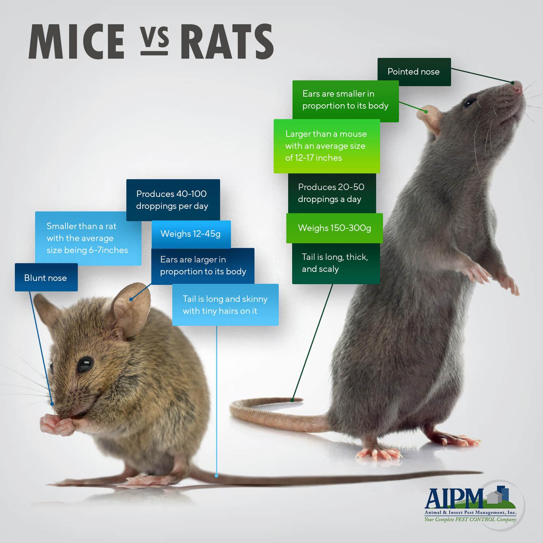 Mice and rats comparison