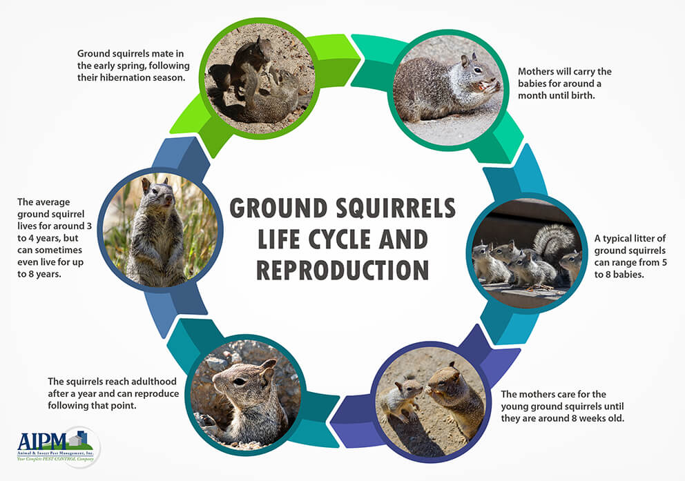 Ground squirrel life cycle